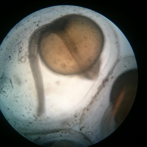 kisharcsa mikroszkóp alatt