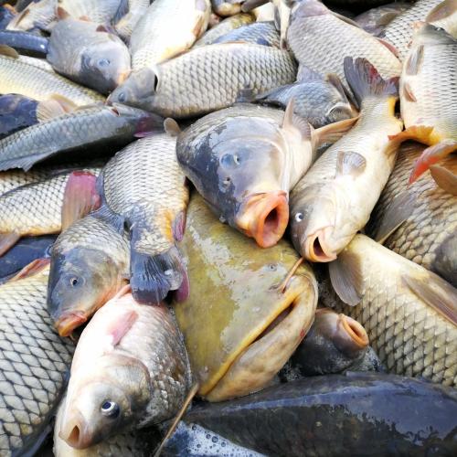 tökéletes minségű egészséges hal eladó