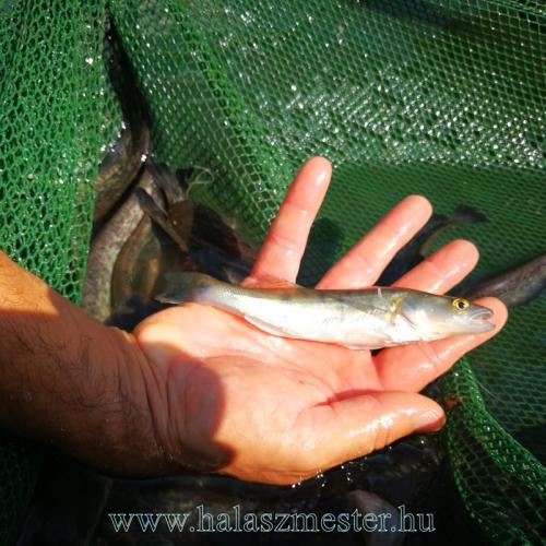 egynyaras süllő eladó horgásztóba